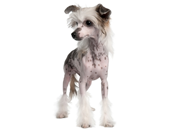 Chinese Crested Puppies for Sale Miami Fl